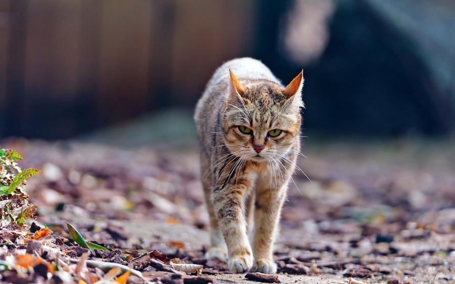 Природа Животные, Кошки 1927952418