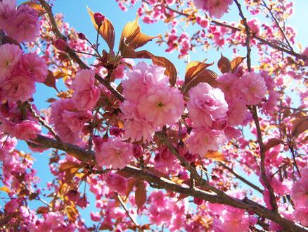 Природа Фотообои Цветение Сакуры, Фотообои японской Сакуры, Фотообои цветы, Фотообои Япония id1859074128