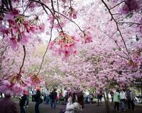 Природа Фотообои Цветение Сакуры, Фотообои японской Сакуры, Фотообои цветы, Фотообои Япония id766294585