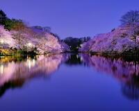 Природа Фотообои Цветение Сакуры, Фотообои японской Сакуры, Фотообои цветы, Фотообои Япония id613530749