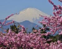 Природа Фотообои Цветение Сакуры, Фотообои японской Сакуры, Фотообои цветы, Фотообои Япония id284007551
