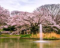 Природа Wallpapers Sakura blossom, Wallpapers Japanese Sakura, Wallpapers flowers, Wallpapers Japan id153959436